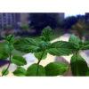 Huile essentielle de menthe poivree bio